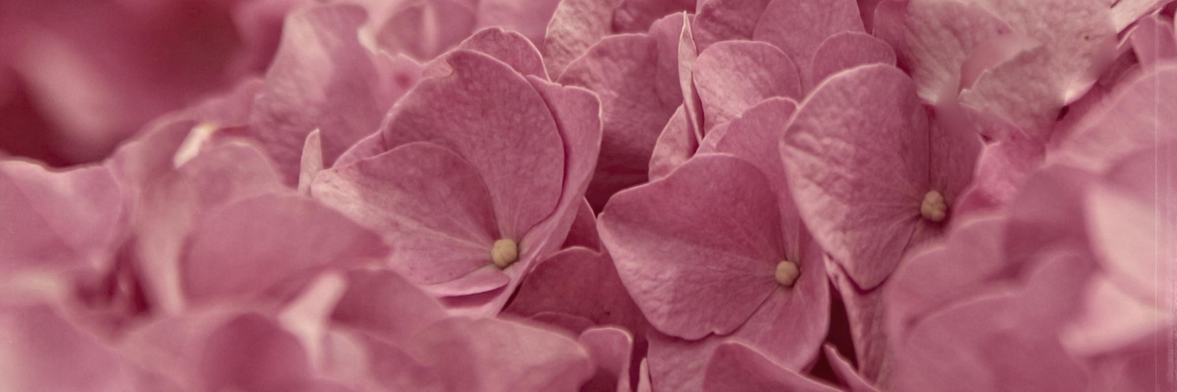 hortensiahortensia